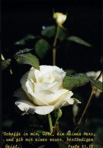 weiße Rose (Wolfgang Herberger)